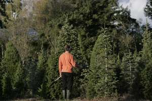 Kevin Mauch of Windsor looks over a tree at Garlock Tree Farm while out looking with his family.