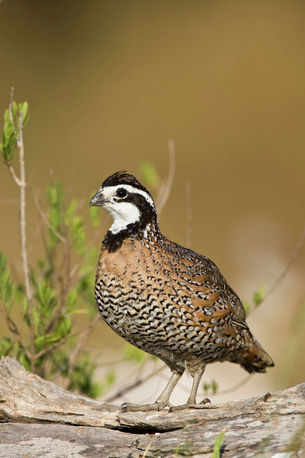 Texas' iconic quail use tall native grasses for shelter and food.