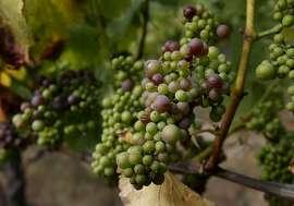 Pinot Noir grapes at the Falstaff vineyard near Sebastopol begin to turn to deep purple in July.