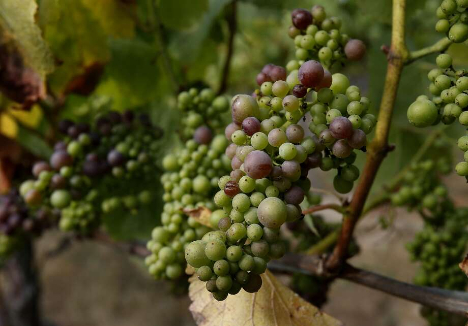 Pinot Noir grapes at the Falstaff vineyard near Sebastopol begin to turn to deep purple in July. Photo: Brant Ward, The Chronicle