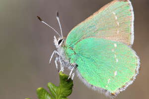 Humans play matchmaker to restore butterfly habitat in S.F. - Photo