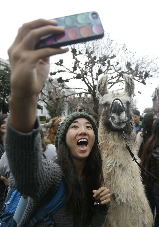 Student Annie Tsai takes a photo of herself with a llama on the University of California Berkeley campus in Berkeley, Calif., Tuesday, Dec. 2, 2014. The llamas were brought on campus as part of the academic affairs mental health and wellness office to reduce stress for students before finals start. Photo: Jeff Chiu, Associated Press