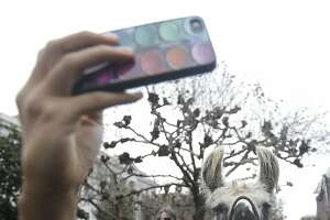 Student Annie Tsai takes a photo of herself with a llama on the University of California Berkeley campus in Berkeley, Calif., Tuesday, Dec. 2, 2014. The llamas were brought on campus as part of the academic affairs mental health and wellness office to reduce stress for students before finals start.