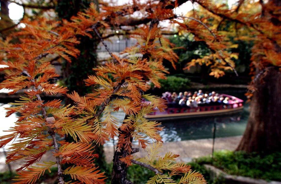 Bald cypress trees along the River Walk show their fall colors. Photo: GLORIA FERNIZ, STAFF / SAN ANTONIO EXPRESS-NEWS / SAN ANTONIO EXPRESS-NEWS