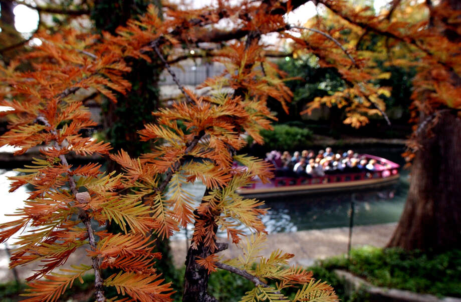 Bald cypress trees along the River Walk show their fall colors. Photo: GLORIA FERNIZ, STAFF / SAN ANTONIO EXPRESS-NEWS / SAN ANTONIO EXPRESS-NEWS