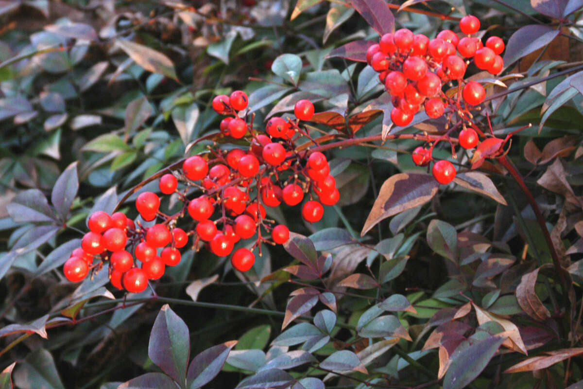 Only the standard old-fashioned Heavenly Bamboo nandina produces berries reliably.