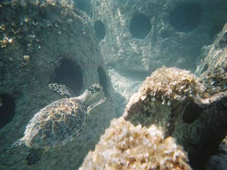 A turtle swims among artificial coral reefs made from remains by Eternal Reefs. (photo courtesy of Eternal Reefs) Photo: Sarah Scully/Houston Chronicle