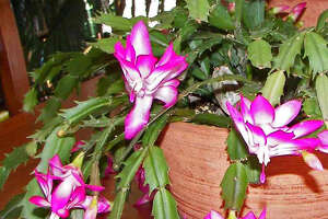 Christmas cactus (Schlumbergera truncata) really should be called Thanksgiving cactus because they are more inclined to bloom in late November.