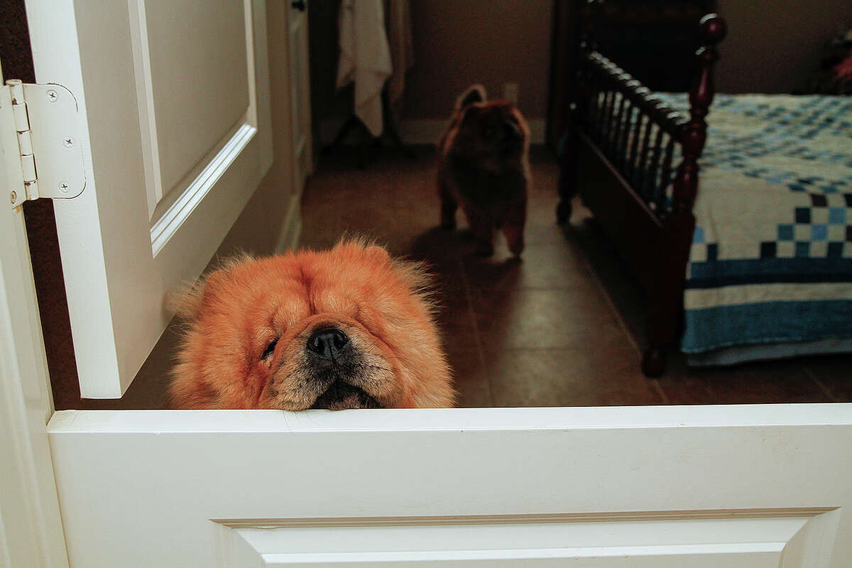 Dutch doors allow Dan and Mary Ellen Shook to confine their chows without isolating the dogs.
