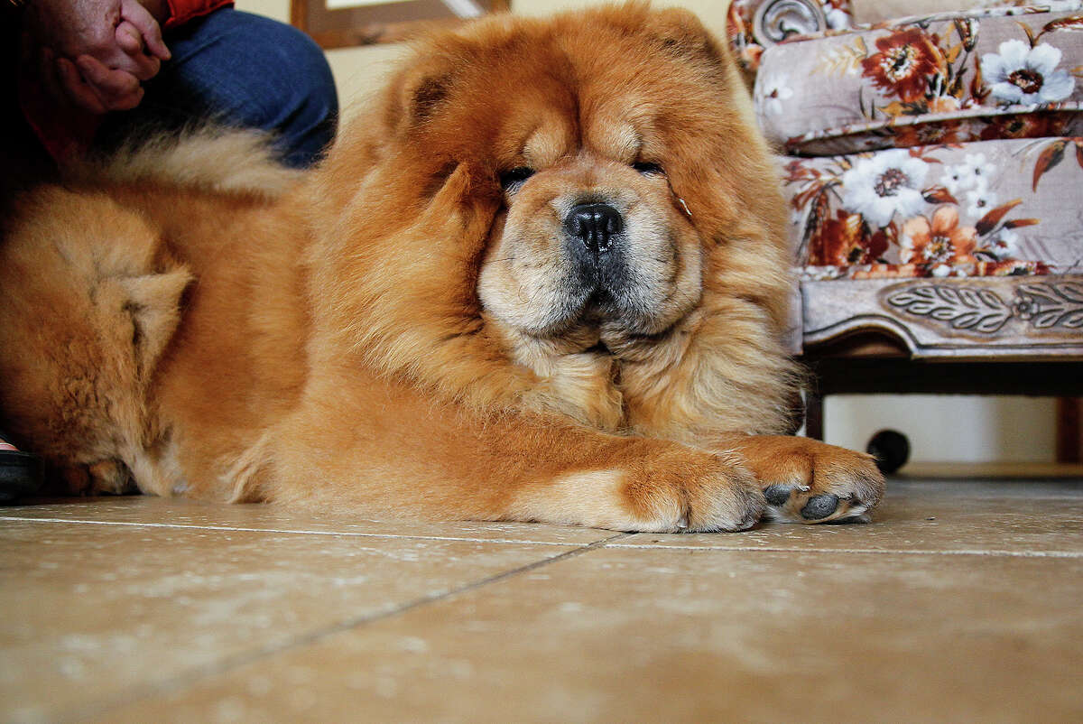 Tile floor is a shade that will camouflage dog hair from Emily as well as Dan and Mary Ellen Shook's five other chows.