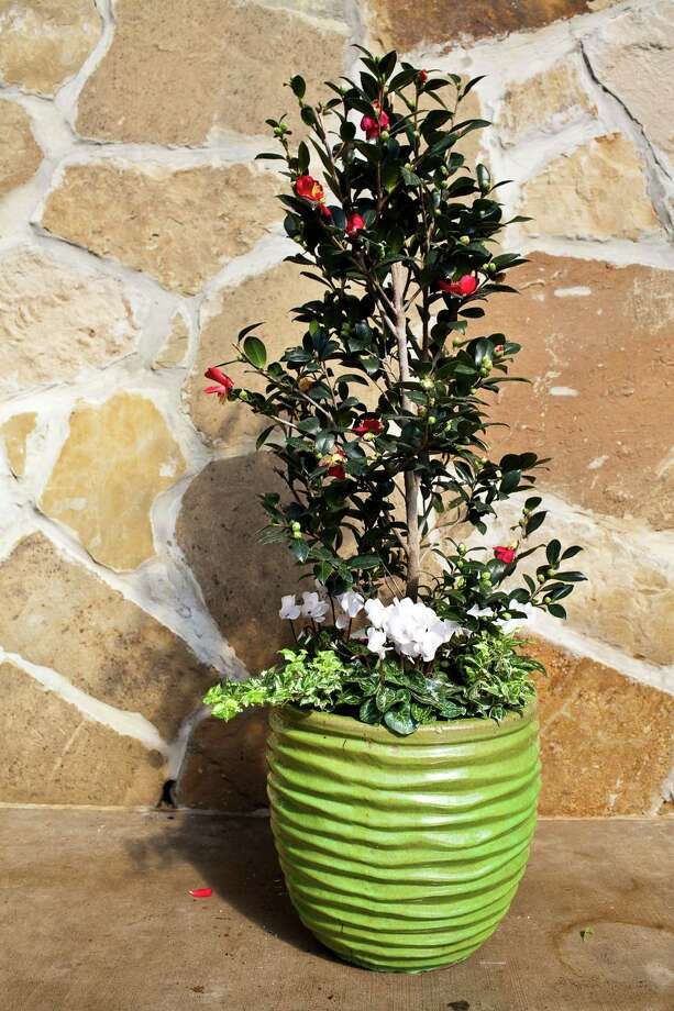 A 'Yuletide' camellia and cyclamen make a beautiful holiday combo. Photo: Eric Kayne, Freelance / © 2011 Eric Kayne