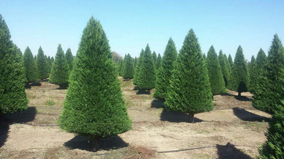 'Leyland' cypresses are popular at the Dewberry Christmas Tree Farm in Brookshire. These and 'Murray' cypresses are great for those with allergies.