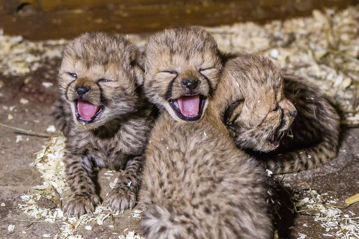 CZECH MATES! Three of the Prague Zoo's newborn cheetah quadruplets yawn in unison. The zoo reports their mother, Savannah, is taking good care of the 2-week-old quads.