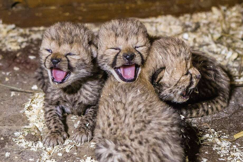 CZECH MATES! Three of the Prague Zoo's newborn cheetah quadruplets yawn in unison. The zoo reports 