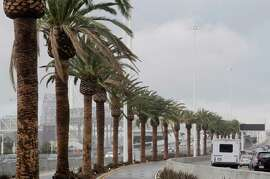 The Canary Island date palms along the Bay Bridge were chosen for their ability to withstand salt air, fog and wind.