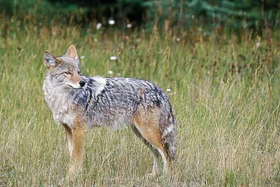 FILE - In this Feb. 10, 2013, file photo,  A coyote stands in a field in this undated file photo. Hunters are tromping through the countryside of a remote Northern California county, as they compete in a controversial contest to see who can kill the most coyotes. Organized coyote hunts that award prizes to the top marksman have sparked a culture clash in California between wildlife advocates who value the animals as an essential part of the landscape and people who view coyotes as wily varmints to be hunted down to protect livestock. On Wednesday, Dec, 3, 2014, the California Fish and Game Commission will consider banning prize hunts for coyotes as well as foxes and bobcats, which also are legal to kill year-round in unlimited numbers. (AP Photo/Daily Inter Lake, Karen Nichols, File)