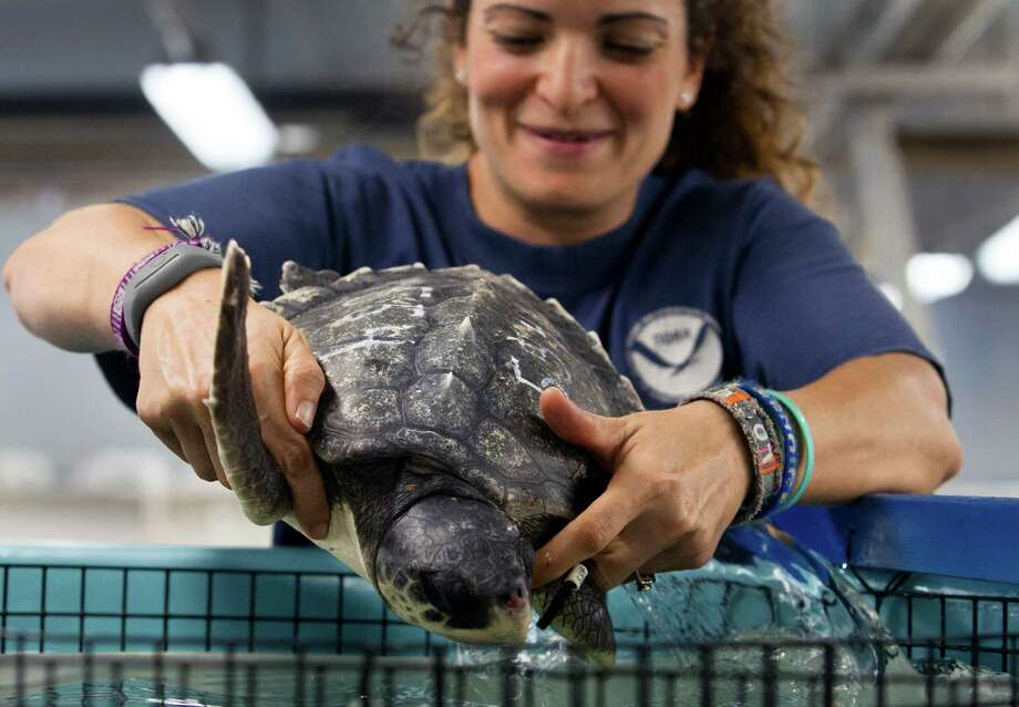 NOAA research fishery biologist Lyndsey Howell places a rescued sea turtle in an enclosure Friday at the NOAA Fisheries Service Sea Turtle Facility in Galveston. Dozens of turtles arrived from the Boston area to be rehabilitated after a recent cold snap caused them to wash ashore. Photo: Stuart Villanueva, MBR / The Galveston County Daily News