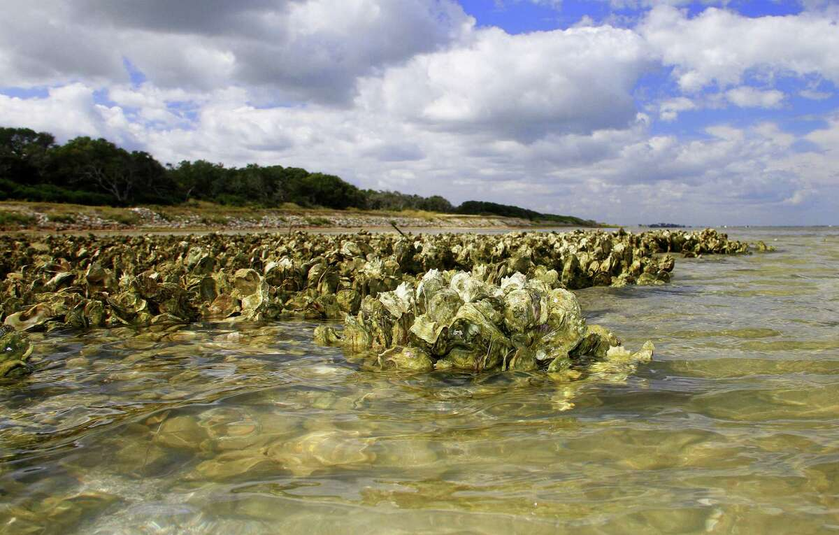 Exposed by low tide, a towhead reef live oysters, crucial to the health of bay systems. pokes from Matagorda Bay along the shoreline of Powderhorn Ranch. The