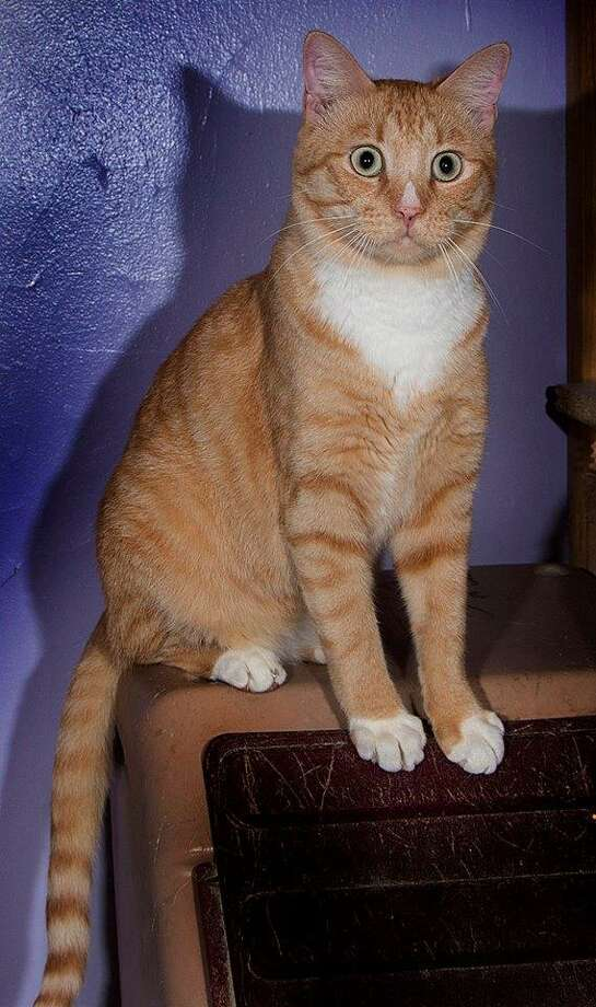 "Orange Julius is a beautiful orange guy with a distinctive white ""triangle"" on his nose. (Mary Lou Baker)"