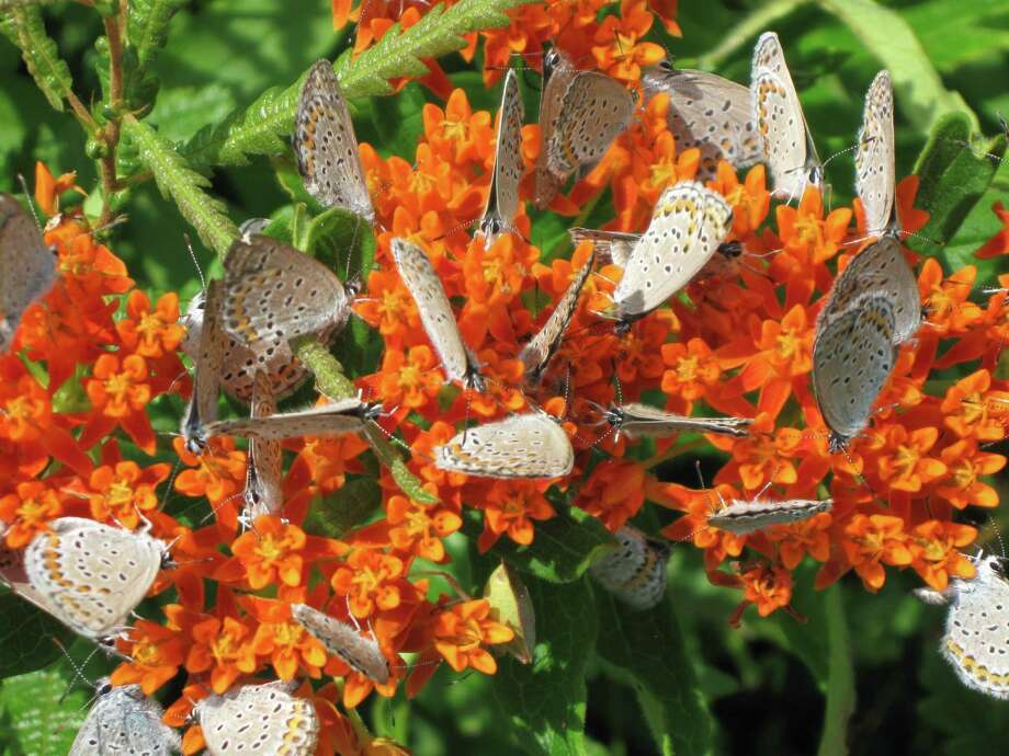 Karner blue butterflies. ( Photo by Kathy O'Brien, courtesy New York State Department of Environmental Conservation)