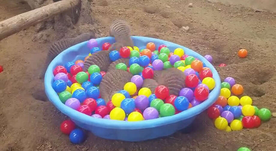 Houston Zoo's mongoose let rip in this kid's ball pit. Check out the video to see the fun and games that were had by all as they searched for food hidden at the bottom. Photo: Houston Zoo