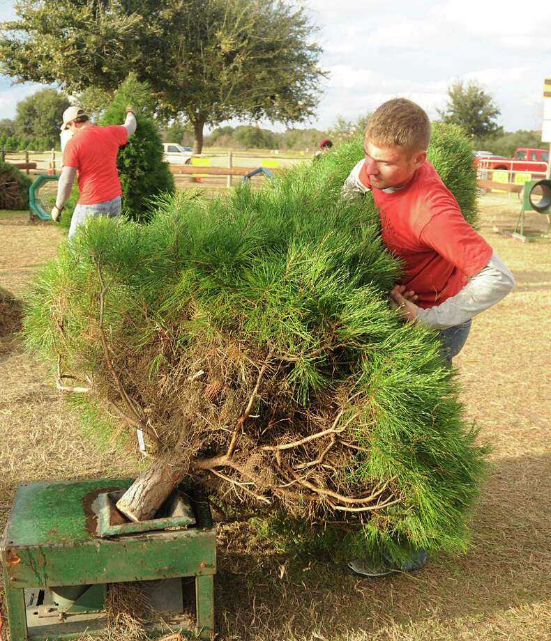 The Real Christmas Tree Farm: Farms Offer Option In Hunt For Christmas Trees