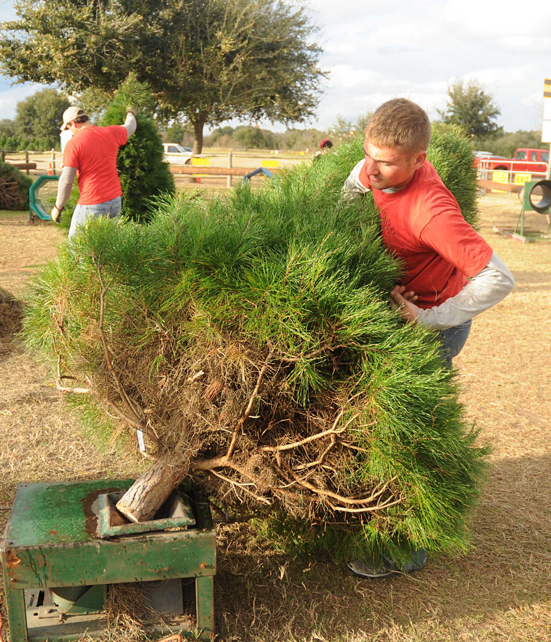 Farms Offer Option In Hunt For Christmas Trees Houston Chronicle