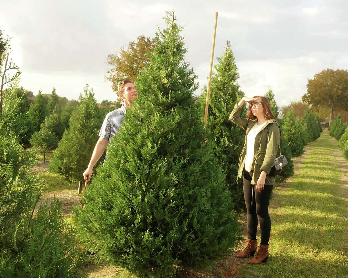 There are dozens of specialty farms in Texas dedicated to growing Christmas trees year round, according to the Texas Christmas Tree Growers Association. Farmers must maintain crops through weed and insect control and tree shaping. Jared Hopper looks for the perfect tree at the Old Time Christmas Tree Farm in Spring.