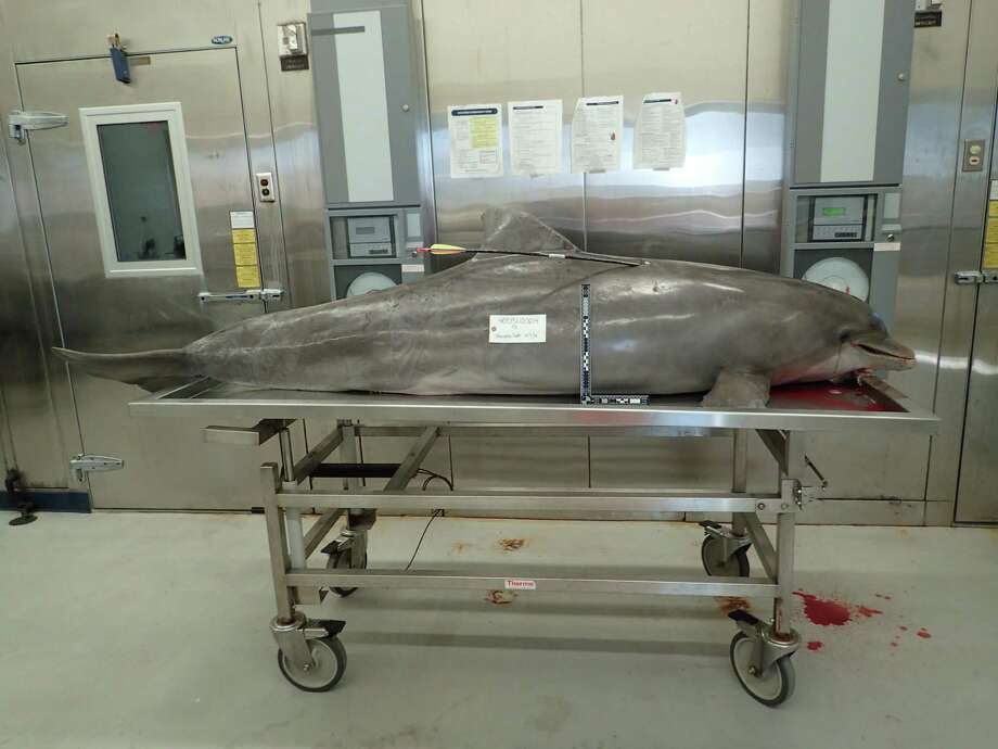 Federal agents have issued an urgent plea for help after two protected bottlenose dolphins were shot and killed. One was killed with a hunting arrow, another with a gun, the second  was pregnant. Photo: NOAA