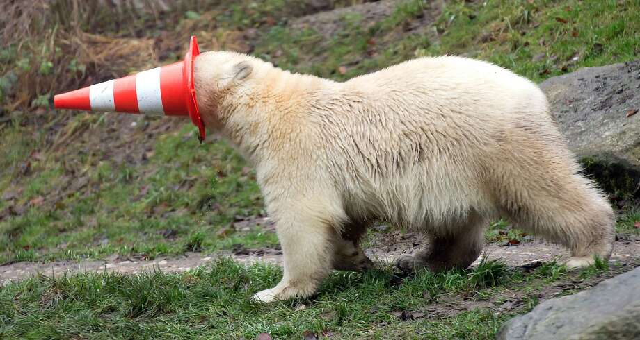 WHERE'S WALDO CHARACTER'S TRAGIC FATE:The beloved cartoon wanderer apparently strayed into the polar bear compound at the Hellabrunn animal park in Munich. Nothing but his trademark red-striped cap remains. Photo: Sven Hoppe, Associated Press