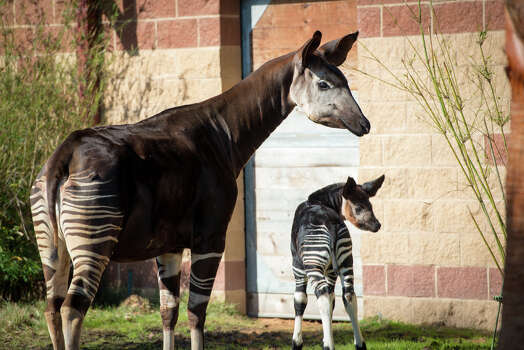 At one month old as of December 2014, baby okapi Miraq is already a hit with onlookers at the Houston Zoo. Photo: Stephanie Adams, Houston Zoo/Stephanie Adams / © Houston Zoo/Stephanie Adams
