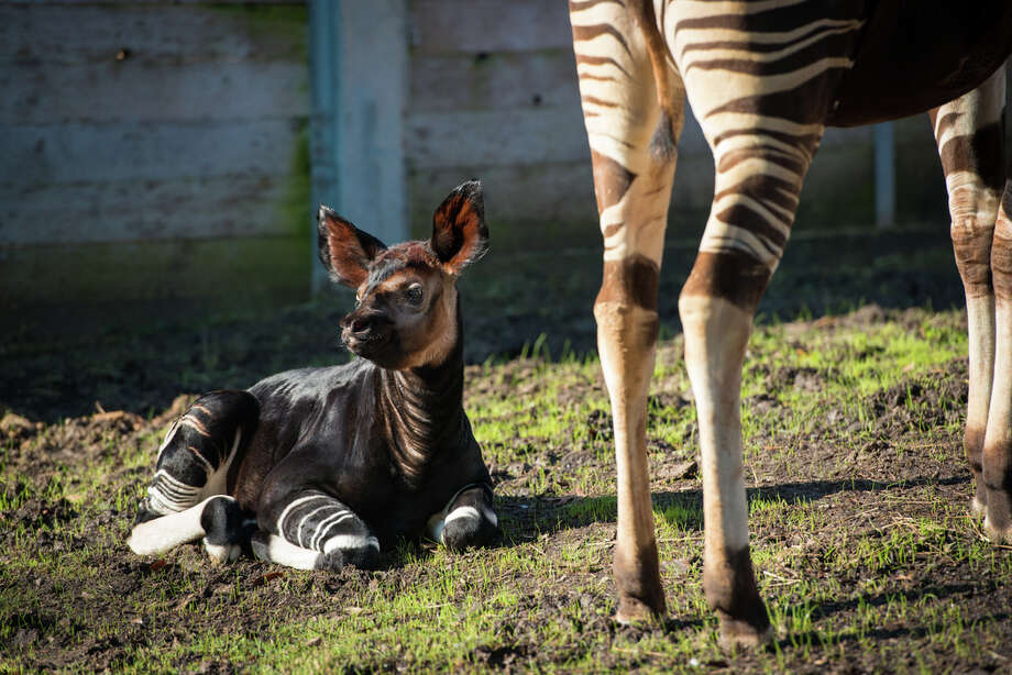 Houston zoos rare baby okapi is super cute half giraffe half zebra at just one month old miraq is already a hit with onlookers at the houston reheart Image collections
