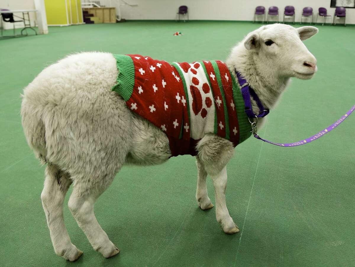 ALL UNITS, BE ON THE LOOKOUT FOR A 'BO PEEP,' FIRST NAME 'LITTLE': A Christmas sweater-wearing sheep waits at the Humane Society after police found it found wandering the streets of Omaha, Neb. (UPDATE: A woman named Margaret Vazquez claimed the sheep, called Gage, Tuesday evening. She said he escaped thorough a fence that was under construction. No explanation for the sweater was offered.)
