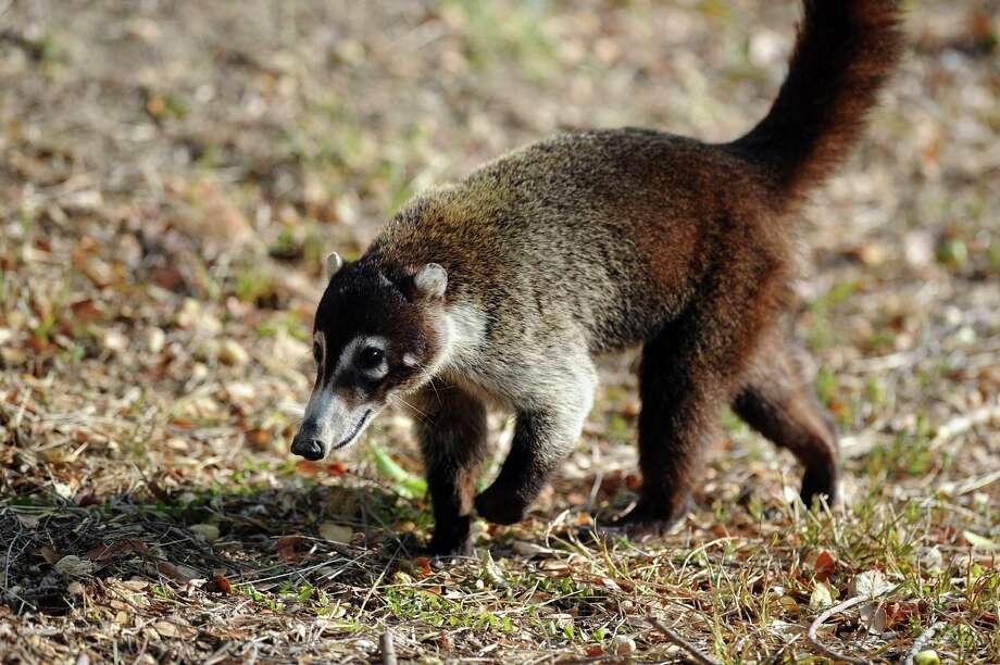 A coatimundi is seen at the National Palo Verde Park on April 8, 2010 in Guanacaste, some 220 kilometers Northeast from San Jose. Photo: YURI CORTEZ, Getty Images / 2010 AFP