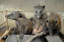 Coatis (Nasua nasua) born in captivity are seen on November 6, 2009 at the Santa Fe Zoo, in Medellin,
