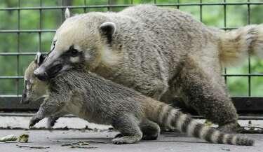 It's a raccoon… It's a monkey… It's the wily coatimundi - SFGate