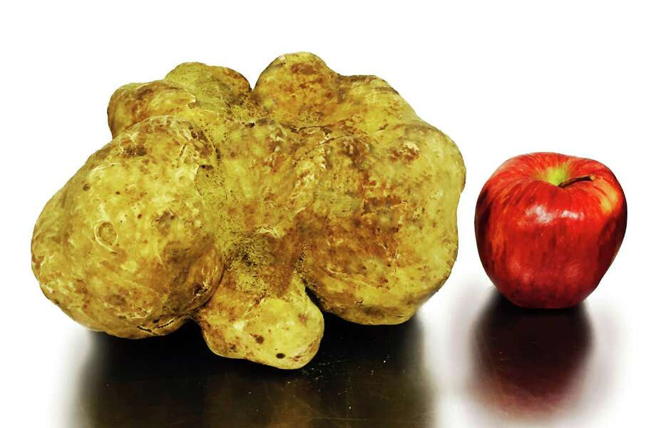 This truffle, auctioned off at Sotheby's in New York last week, is being touted as the World's Largest truffle. When measured in West Haven last week, it weighed in at 3.93 pounds, significantly heavier than the previous world-record truffle, which weighed 2.86 pounds. The truffle was grown on a Sabatino Tartufi plantation in Italy; Sabatino Tartufi's CEO Federico Balestra lives in Greenwich. Photo: Contributed Photo / Greenwich Time Contributed