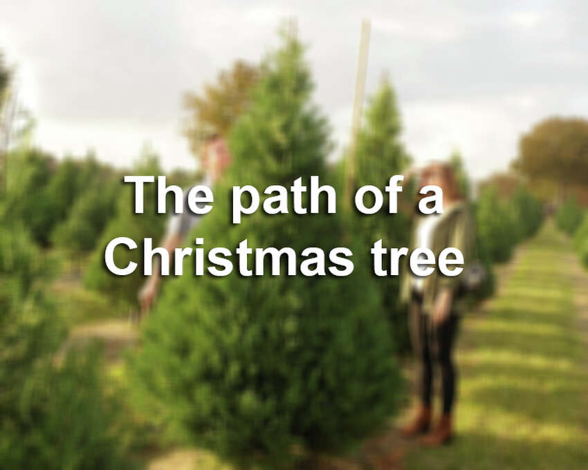 Some Christmas trees take a long road from farm to living room. Scroll through to see where your Christmas tree has been.