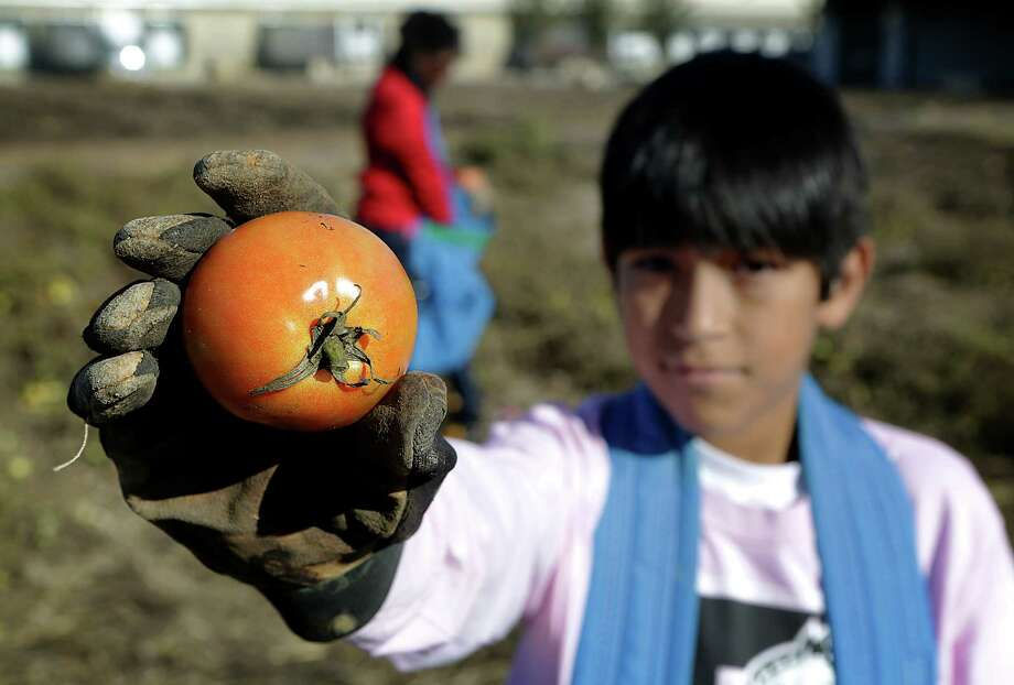 Elijah Aguilar, 11, shows a tomato he picked in the San Antonio Food Bank Garden before Thanksgiving. Photo: Bob Owen /San Antonio Express-News / © 2014 San Antonio Express-News