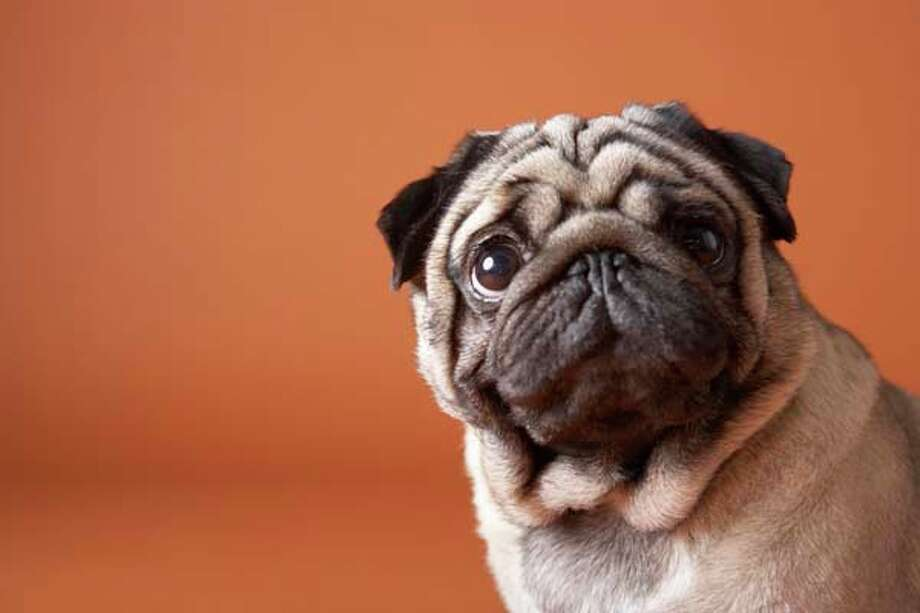 """A file photo of a pug. The pug is commonly described as """"a lot of dog in a small space"""" and the playful, affectionate breed loves to have fun outside or spend time walking with its family. Photo: Chris Amaral, Getty Images / (c) Chris Amaral"""
