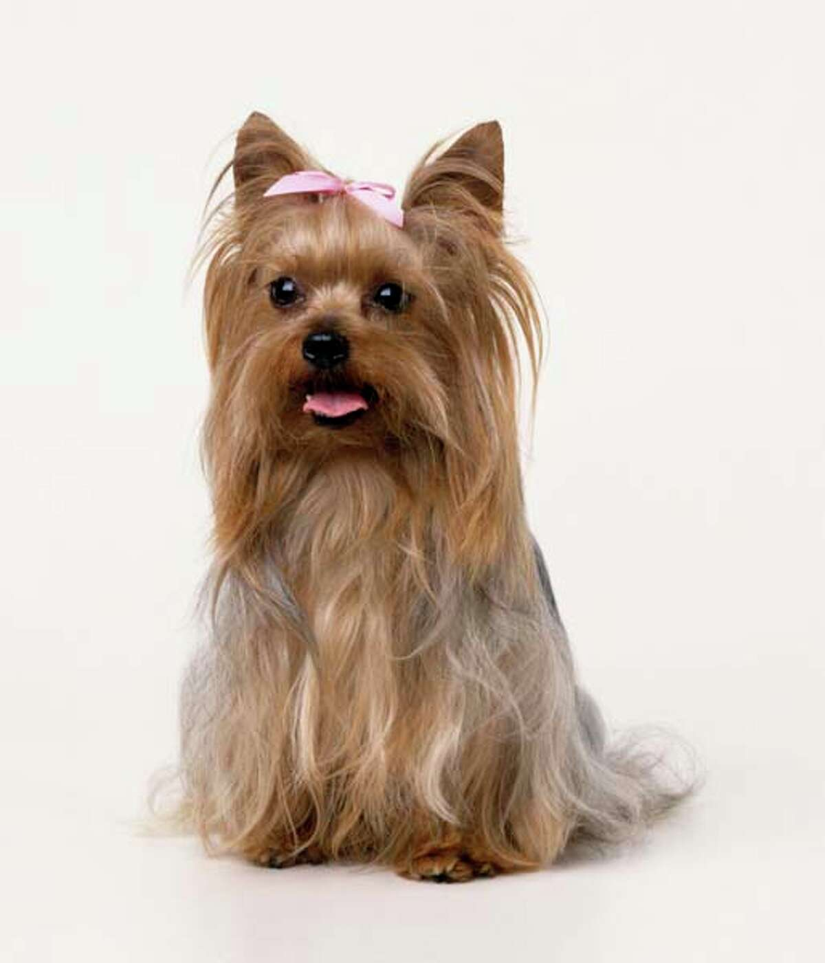 Yorkshire Terrier Yorkies have a confident and courageous personality that helps them do well as everything from dog sports to therapy work and makes them great travel companions. Yorkies are incredibly loyal to their owners and prefer to stay close by their side - but don't mistake this for a need to be pampered. Their tendency to bark makes them reliable watchdogs, and their gentle nature makes them a good fit for families with children.
