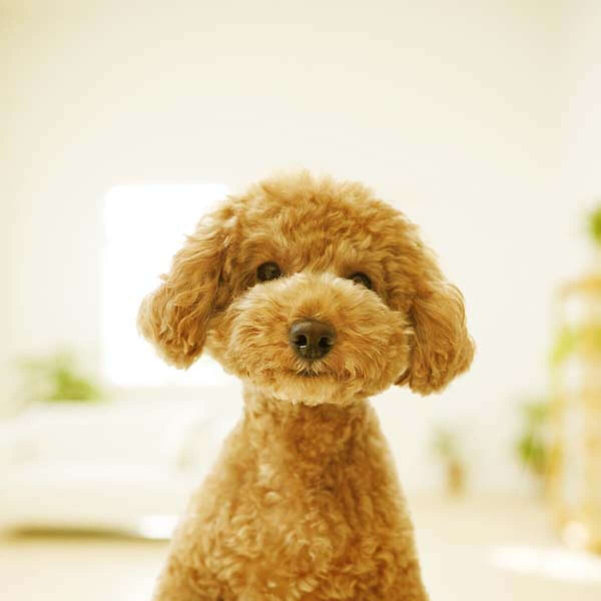 Toy Poodle The Poodle is an exceptionally smart breed that excels in all kinds of dog sport activities. The breed comes in three size varieties, with the Toy being the smallest. The breed's hypoallergenic coat may reduce allergic reactions, but requires regular grooming maintenance.
