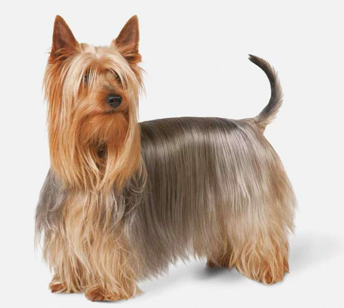 Silky Terrier Although they've always been bred as companions and reside in the AKC Toy Group, Silkys are nonetheless a bit more spirited and prey-driven than the typical lapdog - the breed retains a lot of the classic terrier independence. Silkys are closely associated with Sydney, Australia's largest city, and they make excellent urban companions.