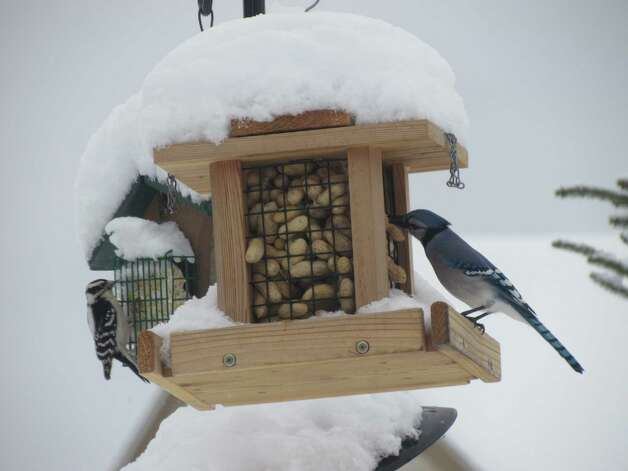 "Fred and Bev Allison share a photo taken in Mechanicville. ""The blue jays have been really active this year.  We have gone through 50 pounds of nuts so far this winter,"" they say. (Fred Allison)"