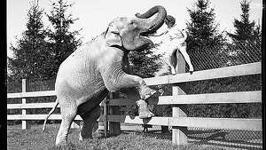 """Wide Awake,"" the Woodland Park Zoo's first elephant, is pictured getting her mouth cleaned, 1935. Photo: Copyright MOHAI, Seattle Post-Intelligencer, 1986.5.2451.2."