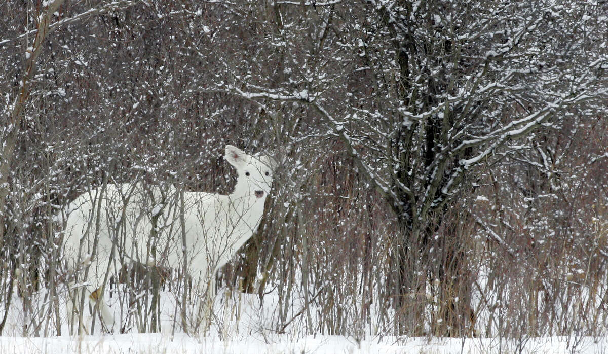A white white-tailed deer looks up while feeding at the former Seneca Army Depot where there is a herd of rare white white-tailed deer, in Romulus, N.Y., Feb. 27, 2007. Seneca White Deer Inc. is fighting to save the habitat of the world's largest herd of rare white white-tailed deer living within the fenced-in former Seneca Army Depot in upstate New York, where developers want to build an ethanol facility, a biomass power plant and farm up to 4,500 acres of willows. (AP Photo/David Duprey) ORG XMIT: NY370