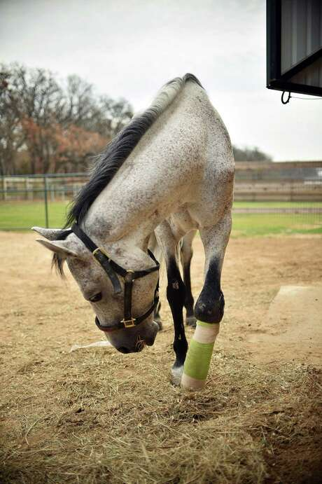 Spirit, rescued after being savagely beaten with a baseball bat, is back on his feet after undergoing innovative surgery at Ranch Hand Rescue in Argyle. Photo: David Minton, MBR / Denton Record-Chronicle