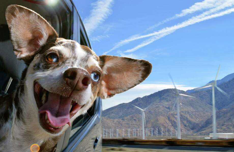 Chulo, a Dopple Chiweenie, enjoys a ride. Photo: Lara Jo Regan / ONLINE_YES