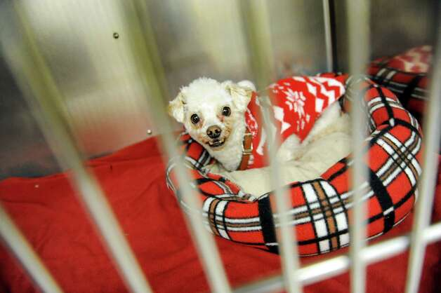 Cooper, a poodle mix, awaits surgery on Tuesday Dec. 16, 2014, at the Collar City Animal Hospital in Troy, N.Y. (Cindy Schultz / Times Union) Photo: Cindy Schultz / 00029872A