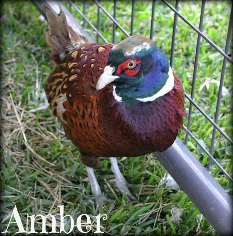 Amber, a 1-year-old pheasant, is available for adoption through the City of Beaumont's Animal Services Department.